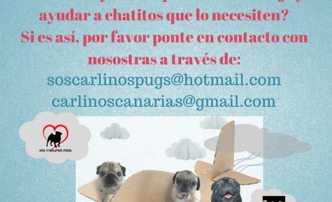 buscamos-padrinos_madrinas-de-vueloviajas-desde-canarias-a-la-peninsula-a-menudo_-quieres-aprovechar-tu-viaje-y-ayudar-a-chatitos-que-lo-necesiten_-si-es-asi-pr-favor-ponte-en-contacto-co-1